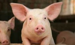 Do GMO's harm pigs?