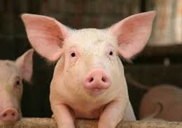 Do GMO's harm pigs?